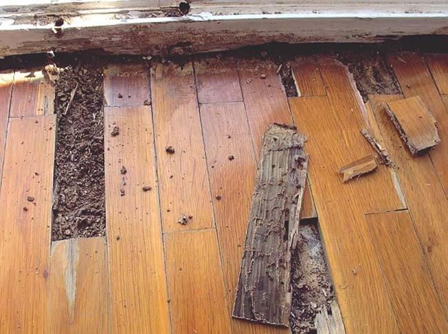 Sàn gỗ công nghiệp bị mối mọt tấn công