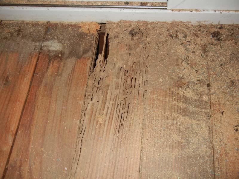 Sàn gỗ công nghiệp bị mối mọt xâm hại dẫn tới hư hỏng
