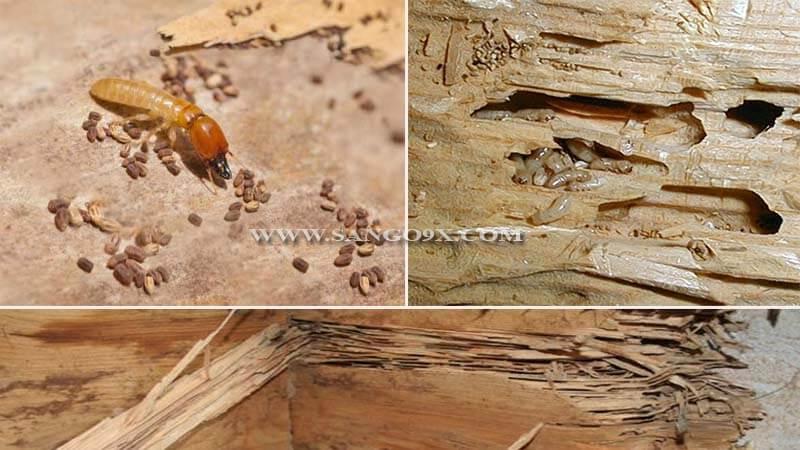 Sàn gỗ công nghiệp có bị mối mọt không, cách phòng chống và xử lý