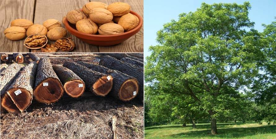 Cây lá quả của sàn gỗ Óc Chó